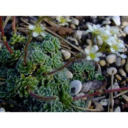 Saxifraga paniculata 'Orientalis' - Saxifrage