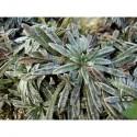 Saxifraga paniculata 'Rex' - Saxifrage