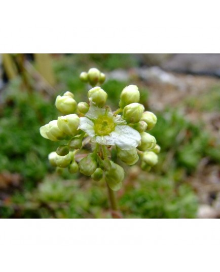 Saxifraga paniculata 'Salomonii' - Saxifrage