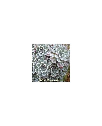 Saxifraga paniculata 'Whitehills' - Saxifrage