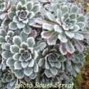 Saxifraga paniculata 'Whitehill' - Saxifrage