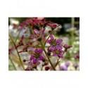 Saxifraga paniculata subsp. cartilaginea 'Kolenatiana' - saxifrages