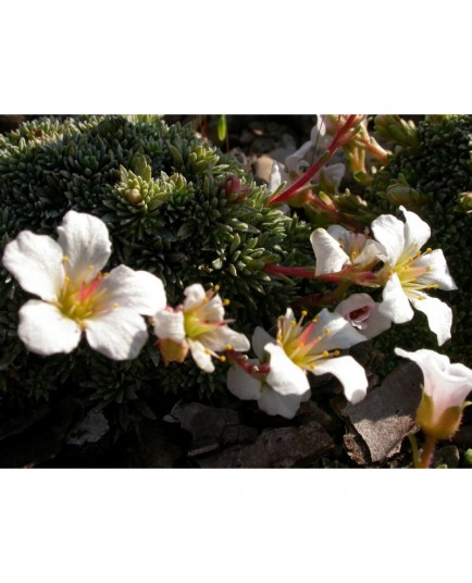 Saxifraga salmonica x 'Friesei' - Saxifrage