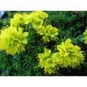 Saxifraga sancta subsp pseudosancta - Saxifrage