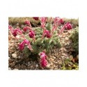Saxifraga sempervivum stenophylla - Saxifrage