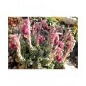 Saxifraga stribrnyi - saxifrage