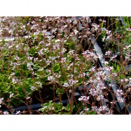 Saxifraga urbium x 'Variegata' - Saxifrage panachée