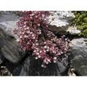 Sedum dasyphyllum - Orpin à feuilles épaisses