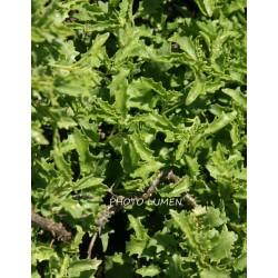 Hylotelephium populifolium - sedum à feuille de peuplier
