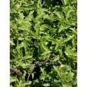 Sedum populifolium - sedum à feuille de peuplier