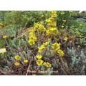 Sedum rupestre - Orpin des rochers, Orpin réfléchi