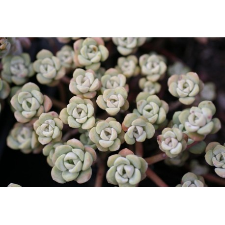 Sedum spathulifolium 'Cape Blanco' - Orpin