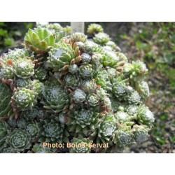 Sempervivum arachnoideum - Joubarbe toile d'araignée