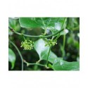 Smilax excelsa - Salsepareille élevée