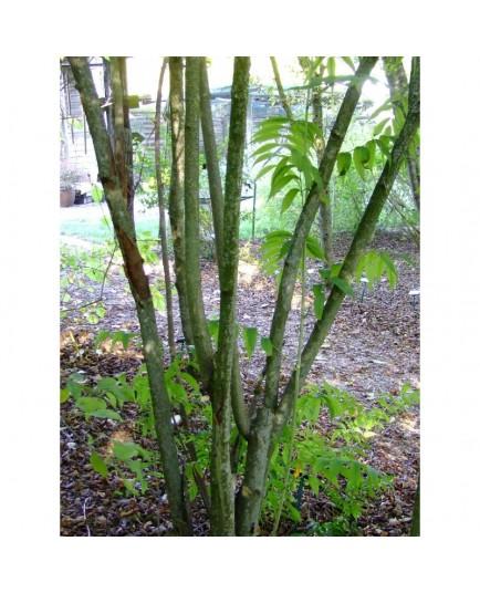 Sorbaria arborea - Sorbaire