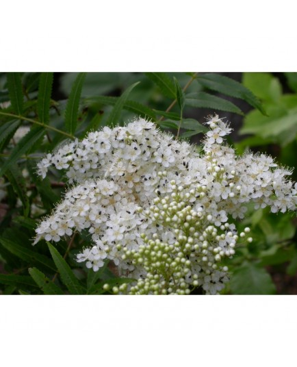 Sorbaria sorbifolia - sorbaire