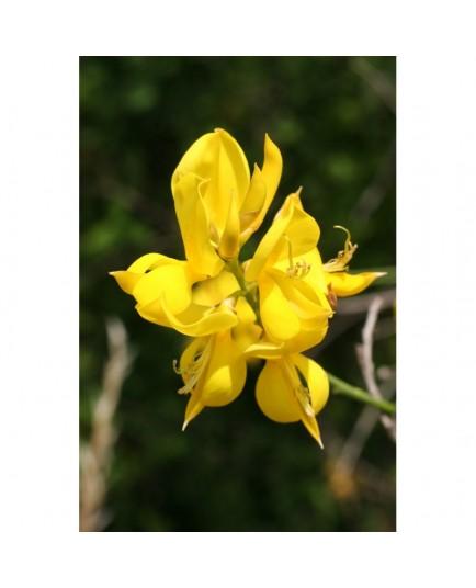 Spartium junceum - Genêt d'Espagne