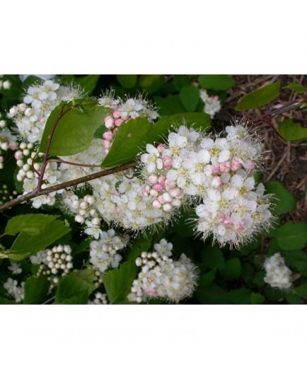 Spiraea 'Printomne' - Spirées à feuille de petit chêne , spirée 0BL3
