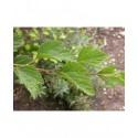 Spiraea chinensis - Spirée