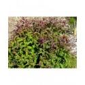 Spiraea japonica 'Crispa' - Spirée du Japon