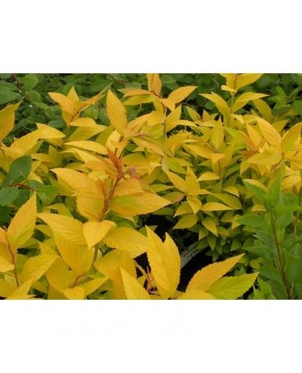 Spiraea japonica 'Doré Bronzé' - spirée