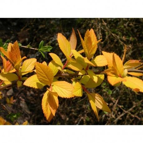 Spiraea japonica 'Feuille d'Or' - Spirée