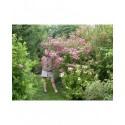 Spiraea japonica 'Magnum Rosé' - spirée géante