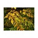 Spiraea nipponica 'Rotundifolia' - spirée nippone