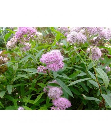 Spiraea syringaeflorea x - spirée à fleur de lilas