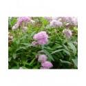 Spiraea syringiflora x - spirée à fleur de lilas