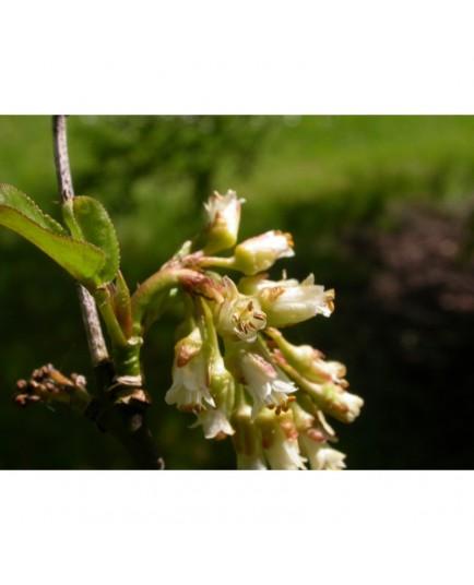 Staphylea trifolia - staphylier