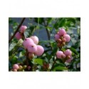 Symphoricarpos doorenbosii x 'Mother of Pearl' - Symphorine