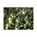 Symphoricarpos doorenbosii x 'White Hedge' - symphorine