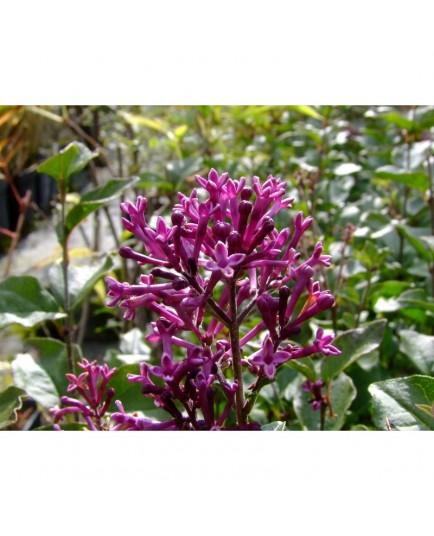 Syringa 'Bloomerang Dark Purple® - lilas nain remontant