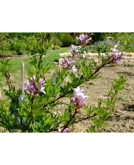 Syringa laciniata x - Lilas persil, lilas lacinié, lilas d'Afghanistan
