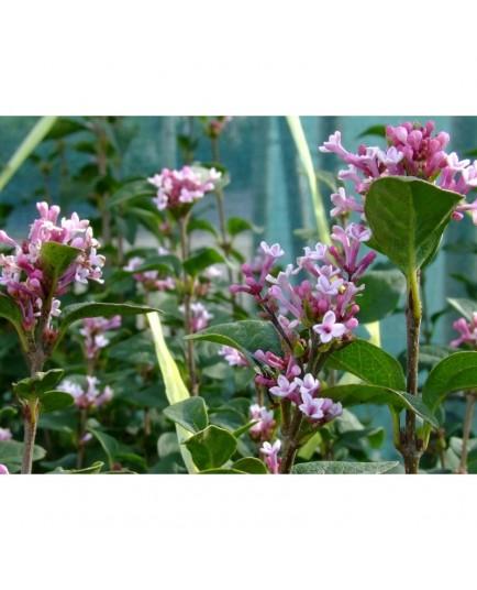 Syringa pubescens subsp. microphylla 'Superba' - Lilas à petites feuilles remontant