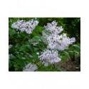 Syringa pubescens subsp. patula 'Miss Kim' - Lilas