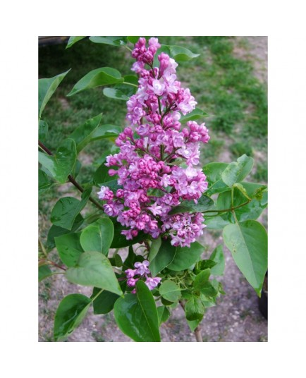 Syringa vulgaris 'Belle de Nancy' - Lilas Commum