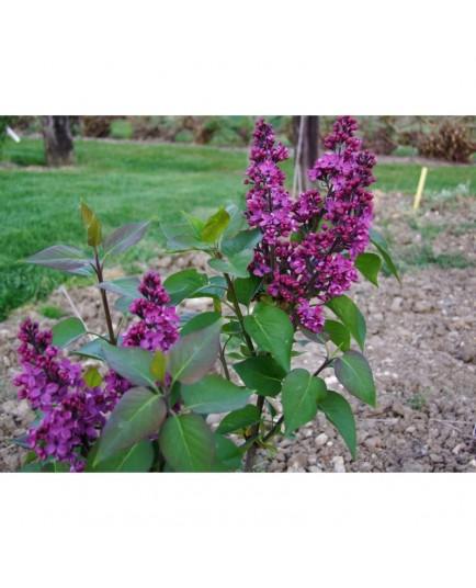 Syringa vulgaris 'Charles Joly' - Lilas Commum