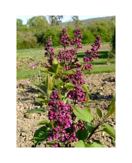 Syringa vulgaris 'Charles X' - Lilas Commum
