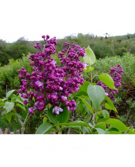 Syringa vulgaris 'General Pershing' - lilas
