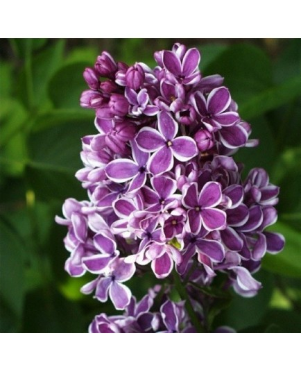 Syringa vulgaris 'Sensation' - Lilas commun
