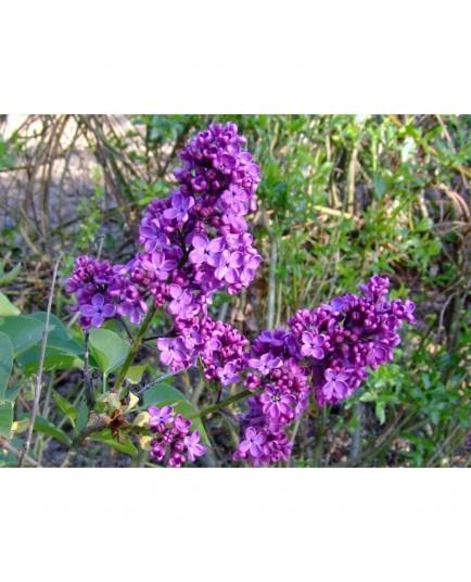 Syringa vulgaris 'Souvenir de Louis Späth' - Lilas Commum
