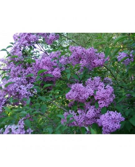 Syringa chinensis x 'Saugeana' - lilas de Rouen, lilas Varin