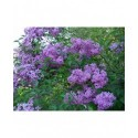 Syringa x chinensis 'Saugeana' - lilas de Rouen, lilas Varin