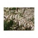 Tamarix ramosissima 'Hulsdonk White' ®- tamaris blanc