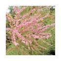 Tamarix ramosissima 'Pink Cascade' -Tamaris