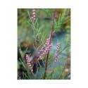 Tamarix ramosissima  'Rosea' - tamaris d'été