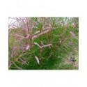 Tamarix ramosissima 'Rubra' - Tamaris d'été