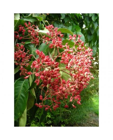 Tetradium daniellii - arbre à miel